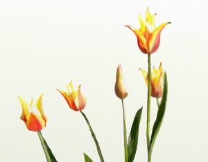 Star gazy tulips adjusted